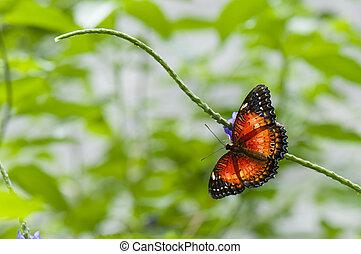 exotique, papillon, hypsea), (cethosia