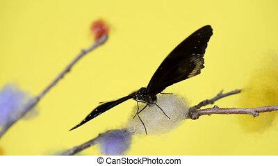 exotique, papillon, noir, s'agiter, ailes