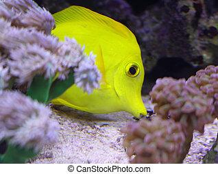 exotique, recherche, nourriture, fish, jaune, grand, aquarium, nage, marin