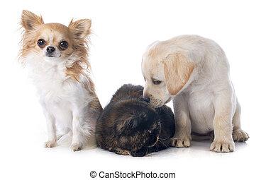 exotische , shorthair, katz, und, hunden