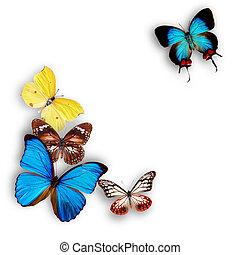 exotische , vlinders, aus, weißes