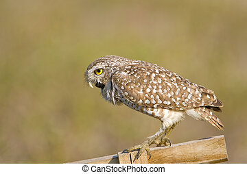Expelling a pellet - A Burrowing Owl chokeing to get a...