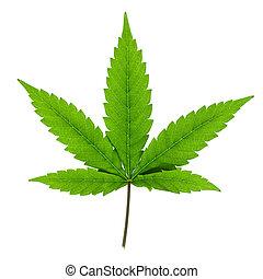 experiência., branca, folha, isolado, cannabis