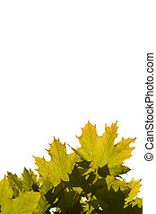 experiência., branca, leaves., maple, isolado
