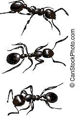 experiência., branca, pretas, isolado, ants.