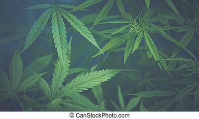 experiência., cannabis, leaves., marijuana