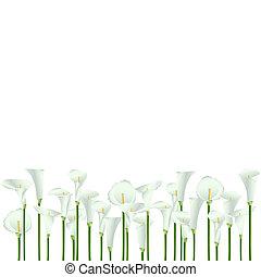 experiência., flores brancas, calla, lote