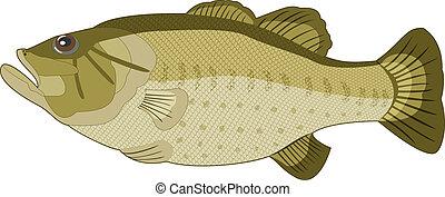 experiência., imagem, vetorial, peixe branco