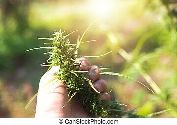 experiência., verde, marijuana