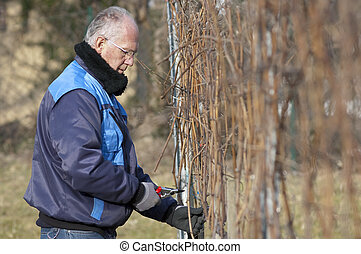 Experienced Vintner is pruning in the vineyard
