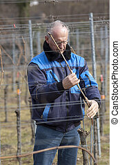 Experienced Vintner is working in the vineyard