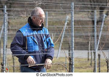 Experienced Vintner is working in the vineyard