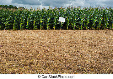 experimental, demo sowing, corn plantation corn cultivation in the countryside