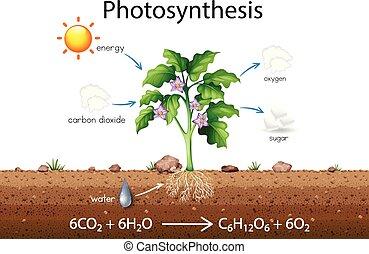 explicación, fotosíntesis, ciencia, diagrama