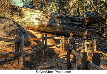 Exploring Giant Sequoia Grove