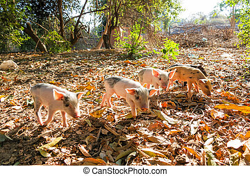 Exploring piglets - Cute piglets in the morning sun in...