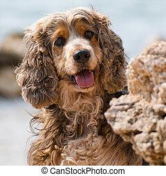 exposiciones, poco, perro, tongue., marrón