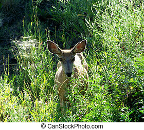 Expressive eyes and large ears of a doe Mule deer peering...