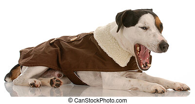 expressive jack russell terrier wearing brown dog coat with mouth open