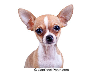 expressive portrait Chihuahua puppy on white background close-up