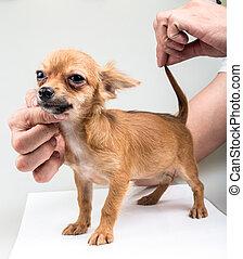expressive portrait Chihuahua puppy
