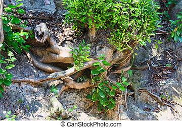 expuesto, tierra, árbol, debido, erosión, raíces