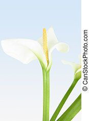 Exquisite Calla - Beautiful whtie calla lily with yellow ...