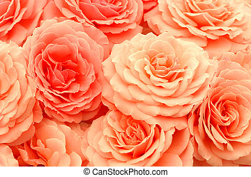 Exquisite Roses - A bunch of coral pink roses.