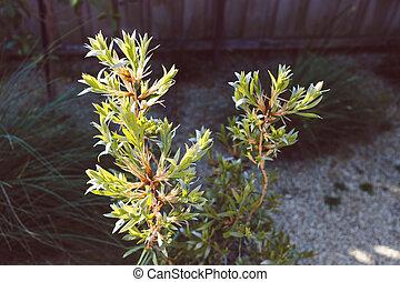 extérieur, arrière-cour, australien natif, plante, ensoleillé, callistemon