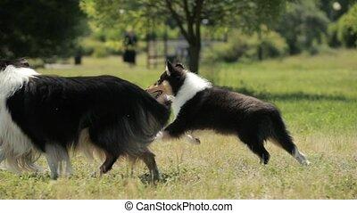 extérieur, espiègle, day., outdoors., chouchou, grass., shetland, sheltie, vert, sheepdog, adulte, chiot, mouvement, colley, lent, été, slo-mo., rigolote, ensoleillé, courant