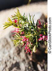 extérieur, grevillea, australien, ensoleillé, arrière-cour, indigène, plante, rouges