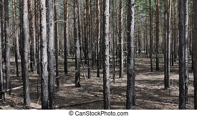 Extensive thickets of pine, thicket. Typical Western ...