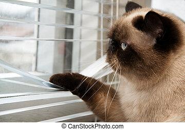 exterior, gato, mirar, ventana, por, persianas