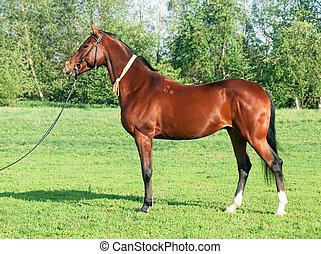 exterior of Akhal teke horse