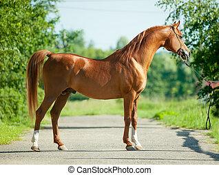 exterior of beautiful chestnut arabian stallion