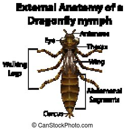 External Anatomy of a Dragonfly nymph on white background