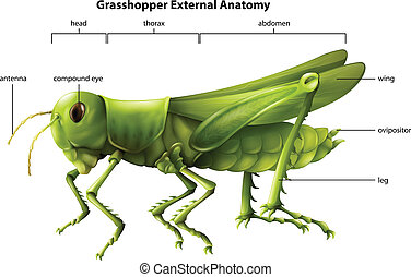 Illustration showing the external anatomy of a grasshopper