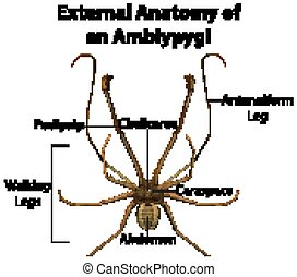 External Anatomy of an Amblypygi on white background