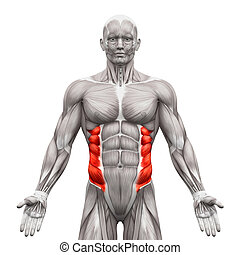 External Oblique Muscles - Anatomy Muscles isolated on white - 3D illustration