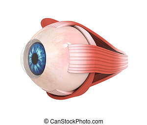 extraocular, muscles, oeil, humain