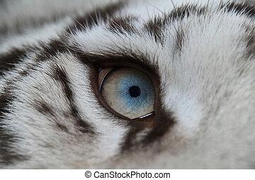 extrem schließen, blaues auge, von, weißer tiger