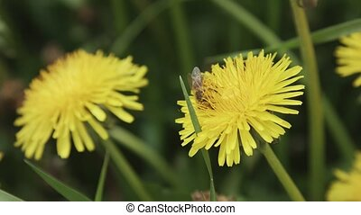Extreme close up of a bee on a yellow dandelion flower. Selective focus. Shallow depth of field. Shallow DOF.