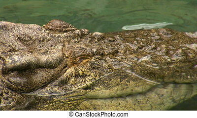 Extreme close up of a saltwater crocodile's face - A massive...