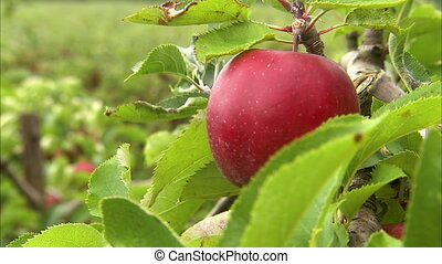 Extreme close up of a single apple on a tree