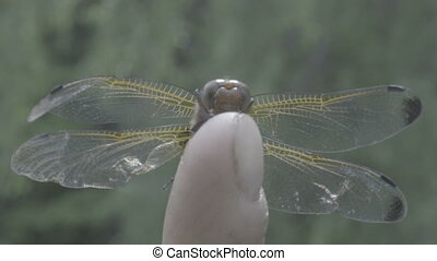 extreme close up of dragonfly eyes macro resting on human finger
