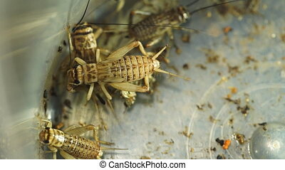 Extreme close up of grouped crickets in container - Extreme...