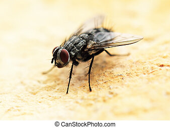 House fly - Extreme close-up of House fly (macro)