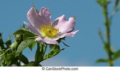 Extreme close up of Iranian wild rose