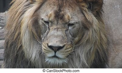 Extreme close up portrait of male lion - Extreme close up...