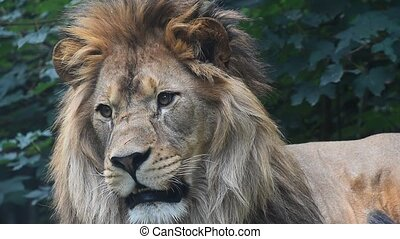Extreme close up portrait of male lion yawning - Extreme...